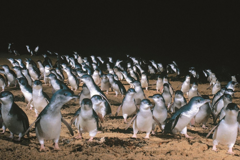Pinguin_Parade